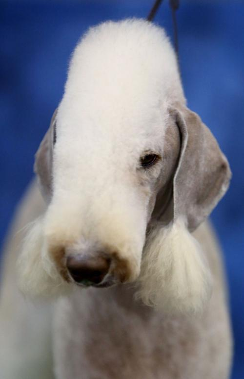 Monte Carlo A Bedlington Terrier Local Billingsgazette