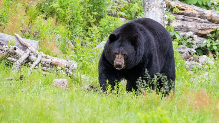 2 Yellowstone bears killed this season — 1 who bit woman through tent