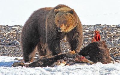 Some grizzlies are awake