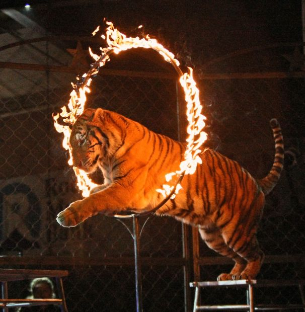Tiger leaps through a ring of fire