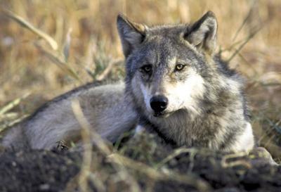 Endangered Wolves Wyoming