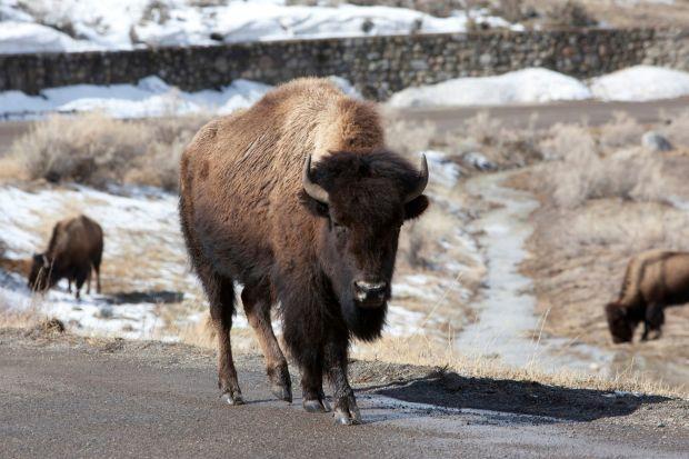 Bison talks