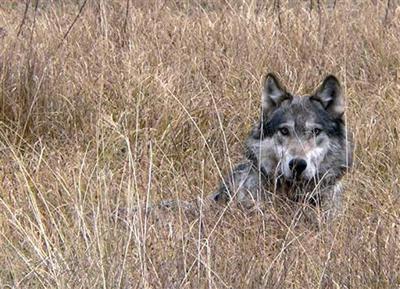 Endangered Wolves Settlement
