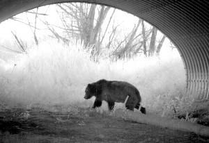 Bear in highway underpass
