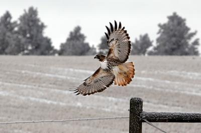 A red-tailed hawk