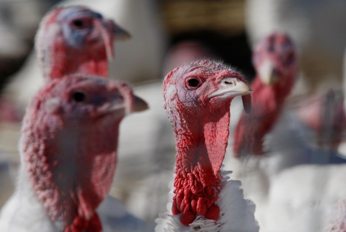 Hutterite turkeys