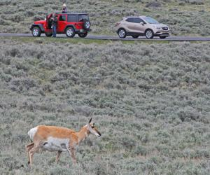Yellowstone's June visitation down from last year