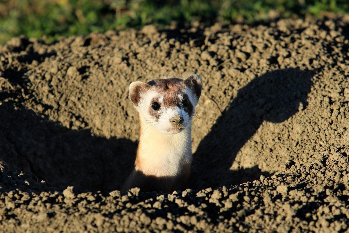 endangered black footed ferrets released on crow reservation