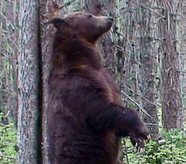 Gun Charge Against Man Who Shot Glacier Grizzly Bear Dismissed