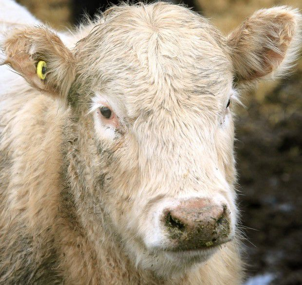 Animal ID cattle