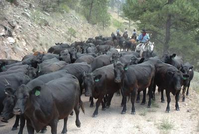 Montana cattle drive