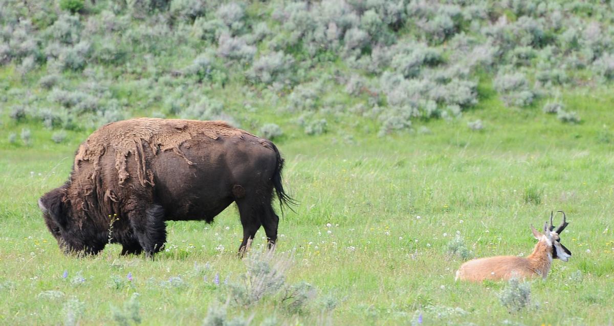Yellowstone buddies