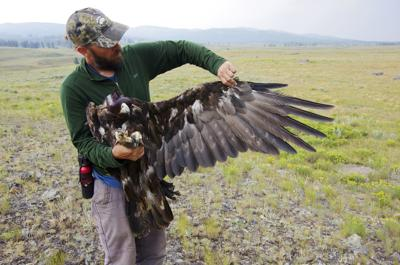 Yellowstone Eagle Death