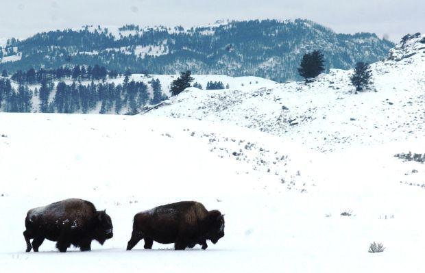 Bison capture begins