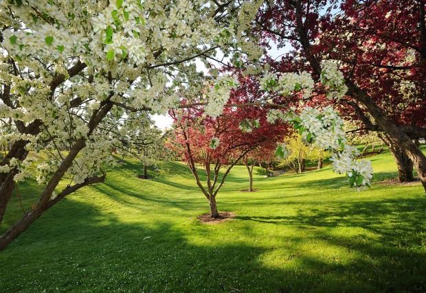 Apple trees bloom in Pioneer Park