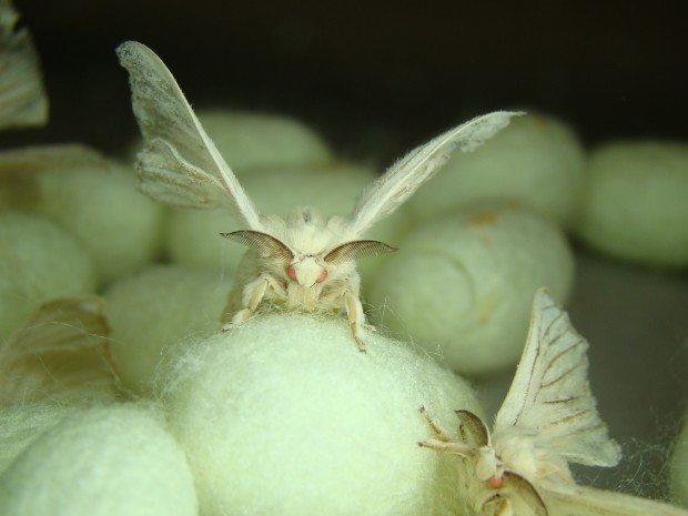 Silkworms spread their wings