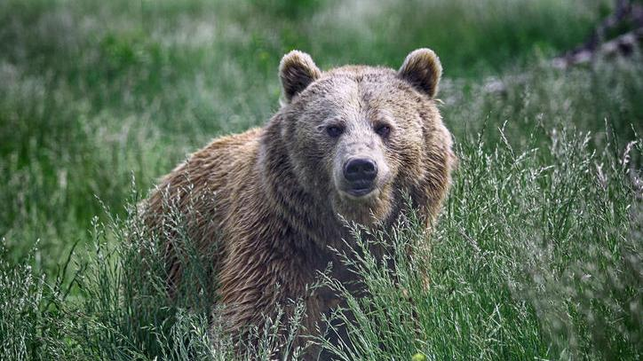 Search ends following back-to-back grizzly attacks