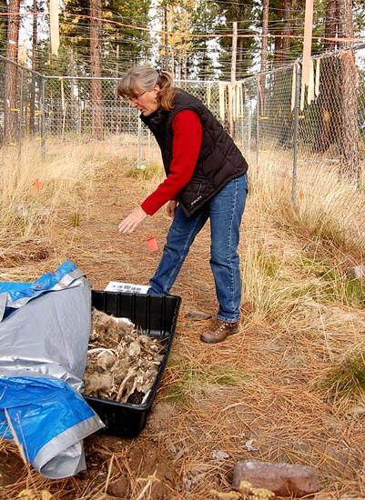 Scientist spends days delving into carnivores' decomposition