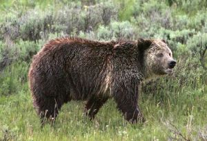 Wyoming wildlife managers to hold grizzly management circuit