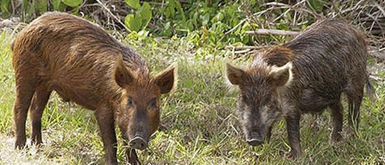 Feral swine