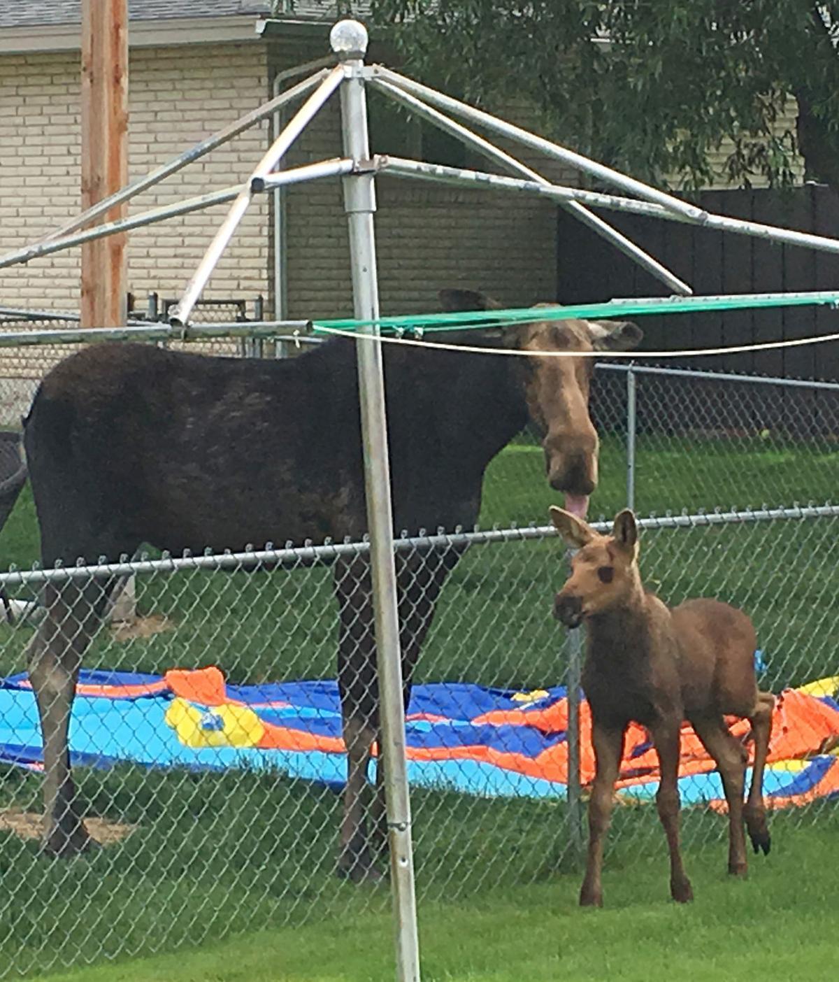 Backyard moose