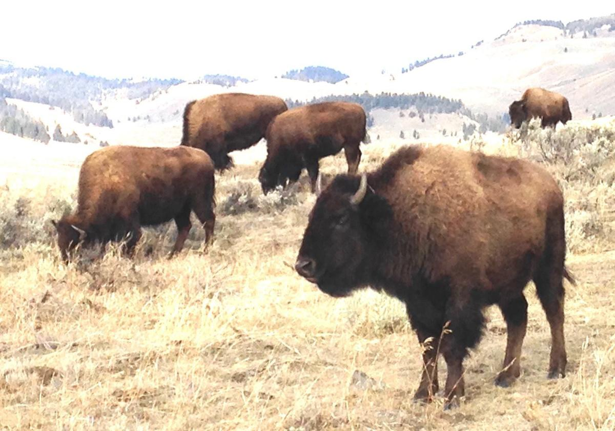 Buffalo can again roam in Montana by working together ...