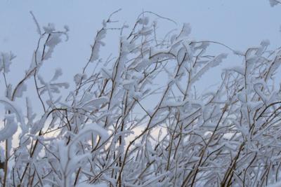 Snowy brush