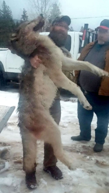 Wolf trapped (IR copy)