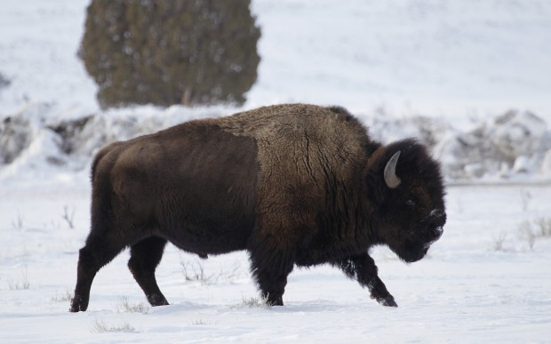 Back to the bison