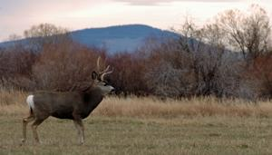 Wyoming Game and Fish conducting mule deer surveys