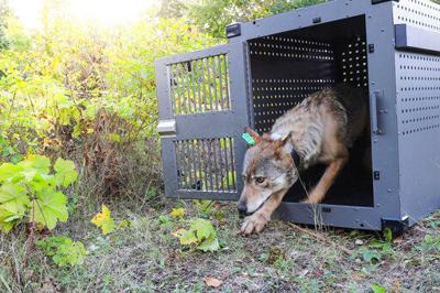 Federal agency hears testimony on fate of gray wolves