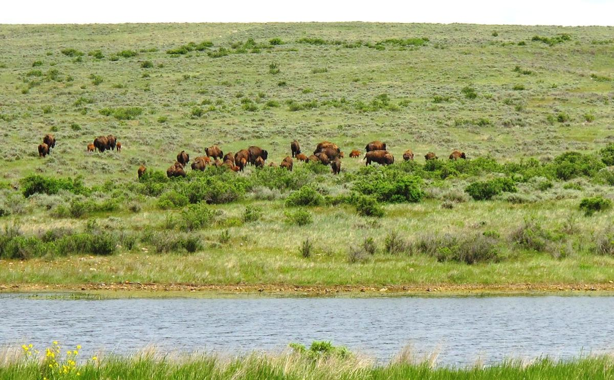 BLM plans to approve American Prairie Reserve's bison-grazing