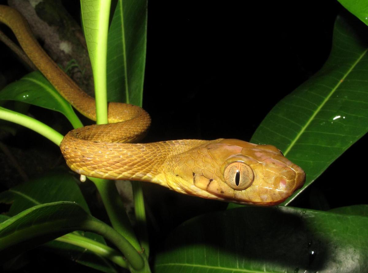 This snake turns its body into a lasso to climb up smooth surfaces