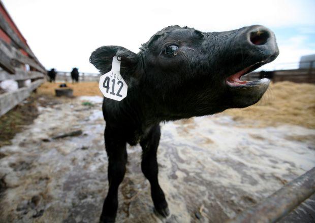 A calf moos