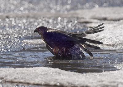 Hawk bath