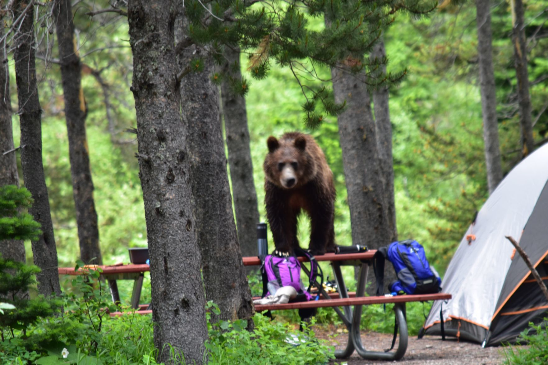 The Billings Gazette & Tents soft-sided campers temporarily banned at Many Glacier due to ...