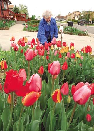 Blooming color: Dedicated gardener reaps benefits of 700 tulip bulbs