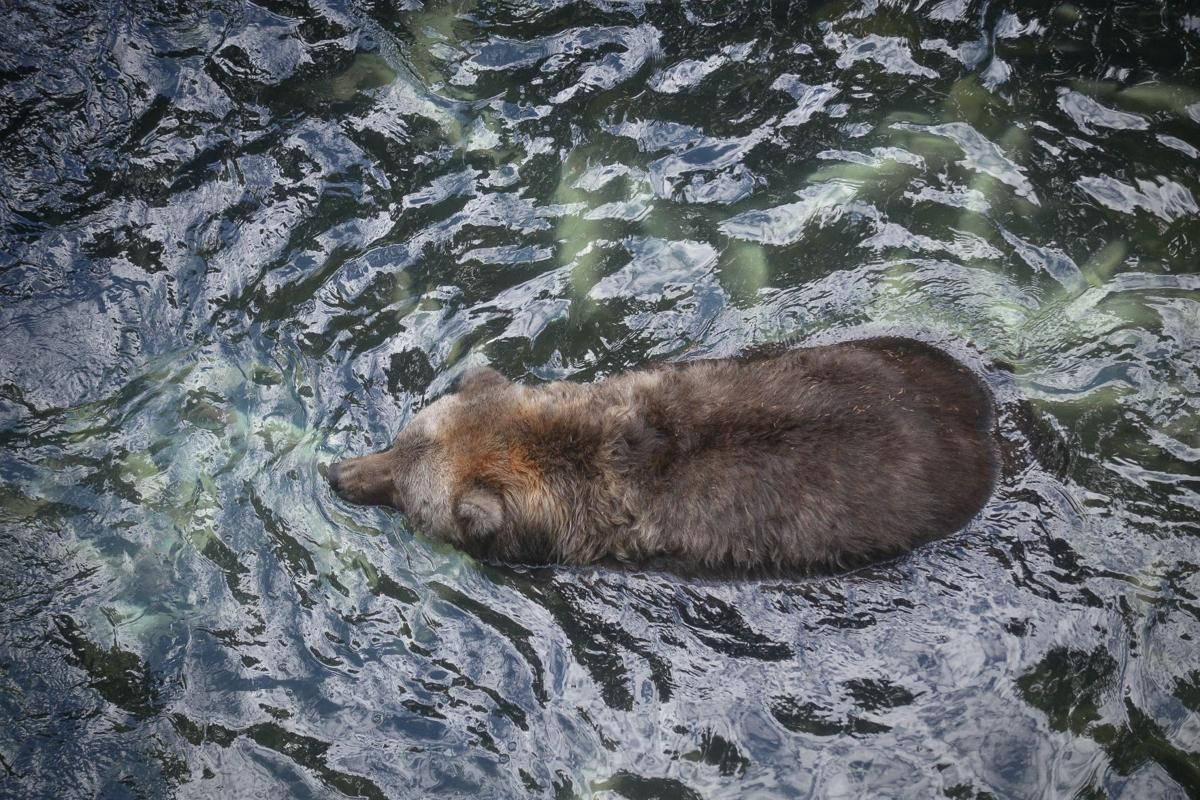 On Alaskan island bear encounters are part of life