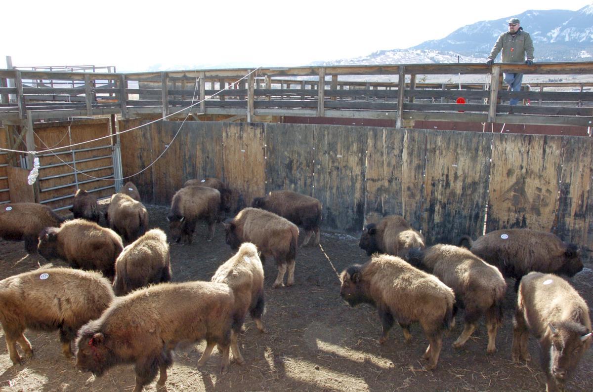 Captured bison