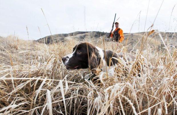 Senior Springer Spaniel A Hunting