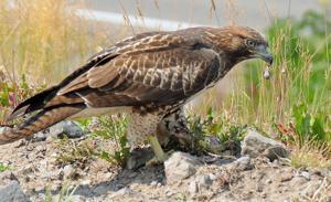 Wyoming community, company work to save raptors