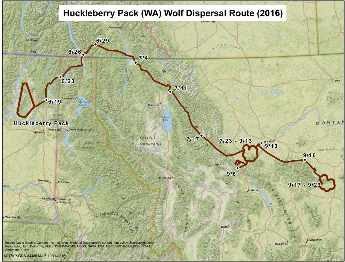 Washington wolf killed in Montana had wandered 700 miles