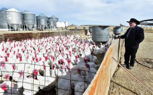 As Thanksgiving approaches, Hutterite colonies are bringing their turkeys to market