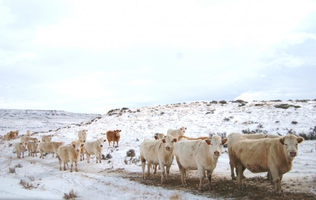 Cattle make their way to the feed truck on rangeland