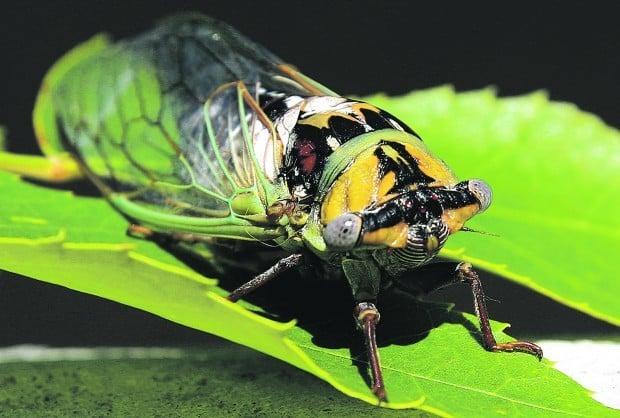 Tibicen dealbatus
