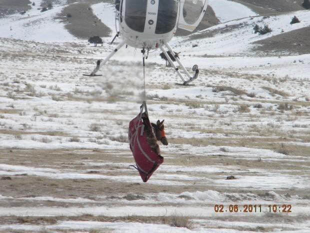Elk being lowered