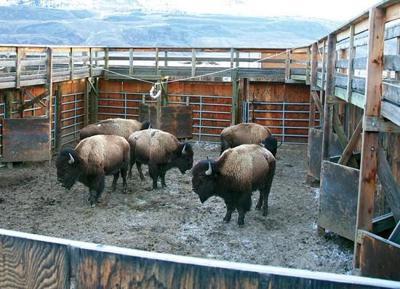 Bison at the capture facility
