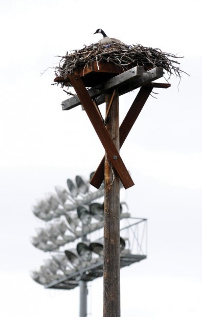 Osprey nest at ballpark