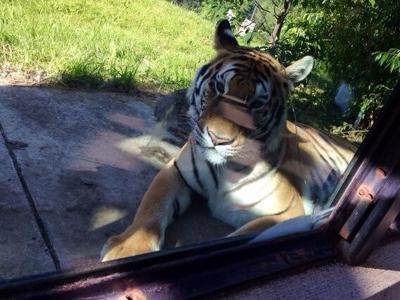 ZooMontana tigers