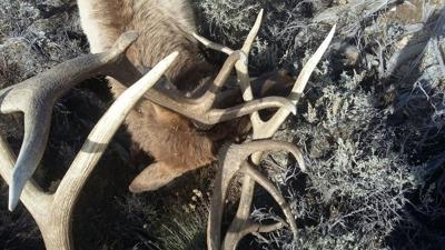 Locked elk